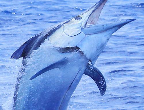 Giant Black Marlin Fishing