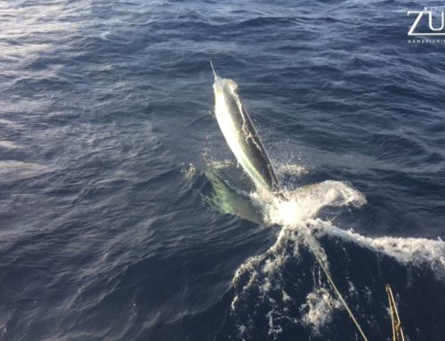 1005lb GIANT BLACK MARLIN ON THE GBR