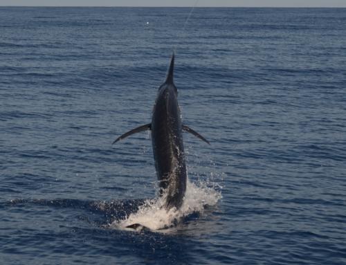 2017 Giant Black Marlin Season on the Great Barrier Reef